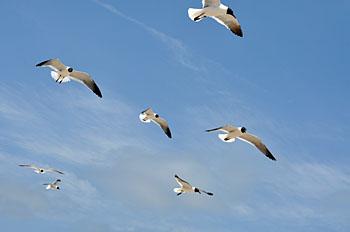 Seasgulls