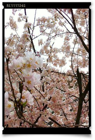 KPertiet_CherryBlossomsPREV
